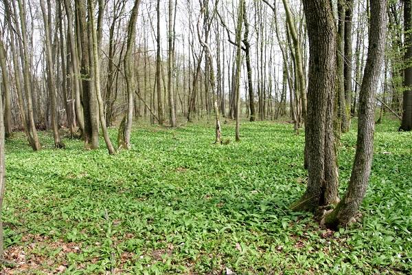 Bärlauchfeld im Wald