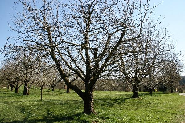 Obstbäume bei Hohenschwärz