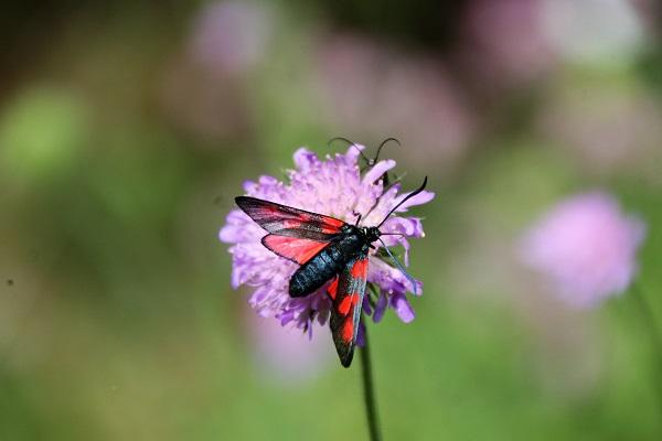 Widderchen - gehört zur Familie der Schmetterlinge