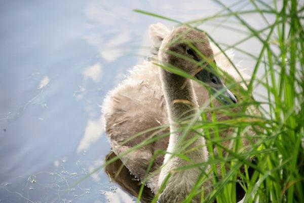 Schwan versteckt sich hinter Gras